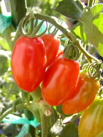 tomato-italian