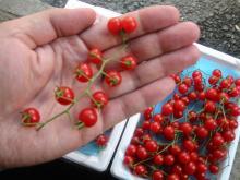 tomato-micromini
