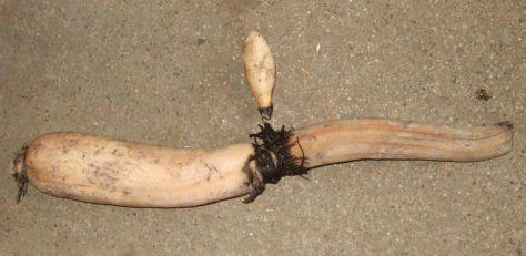lotus-root1