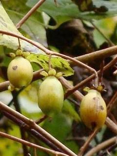 matatabi-silver-vine