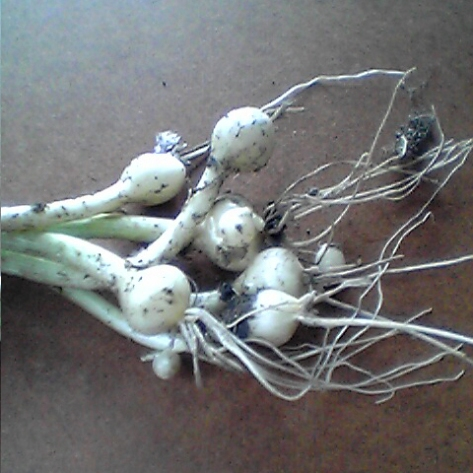 nobiru-alium-macrostemon