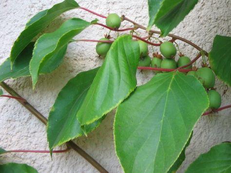 sarunashi-actinia-arguta
