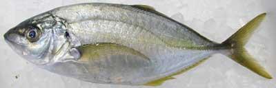 shimaaji-1