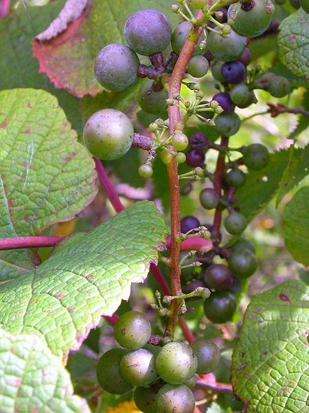 yamabudo-crimson-glory-vine