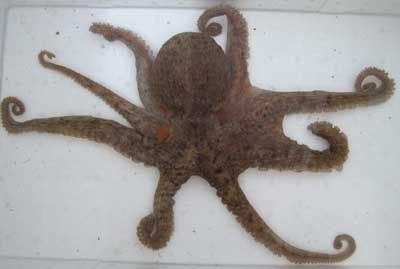 OCTOPUS-MADAGO-1