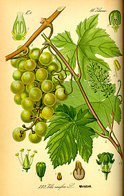 OIL-GRAPESEED