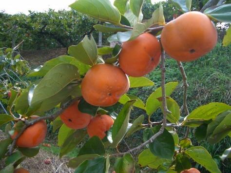 JIRO-KAKI-TREE