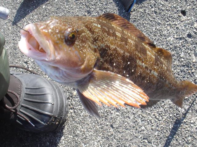 Season fishes 21 ainame fat greening shizuoka sushi for Cholesterol in fish