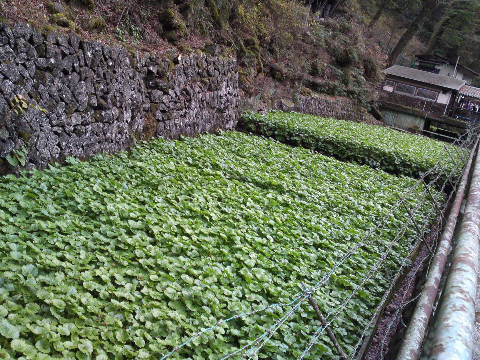 how to grow wasabi in tasmania