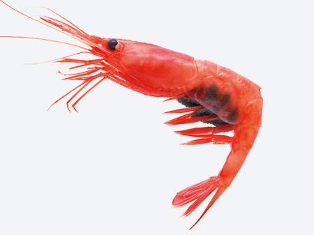 Shrimp Species a Species of Shrimp Found