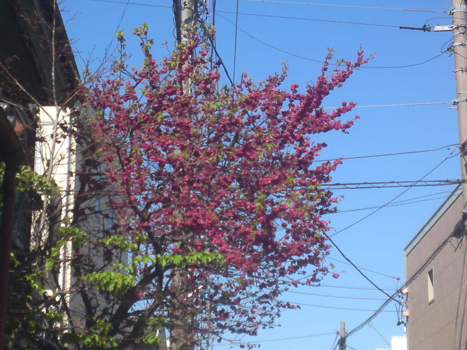spring flowers in shizuoka city japan shizuoka gourmet