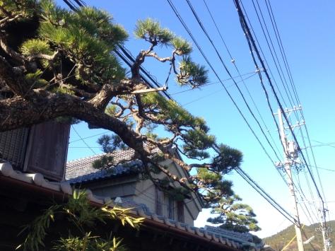 OKABE-6-a-pine-tree