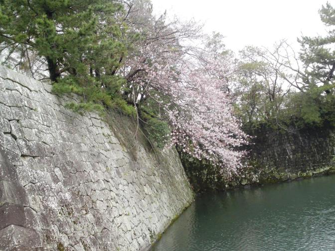 Cherry Blossoms At Last Blooming in Shizuoka City!