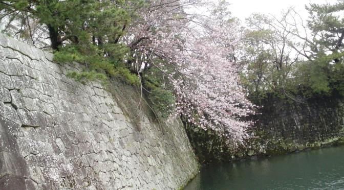 Cherry Blossoms At Last Blooming in Shizuoka City!