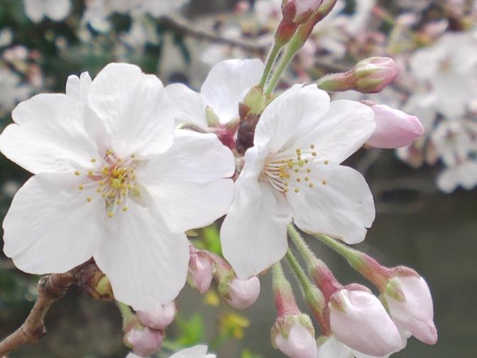 Cherry Blossoms-Mizuochi Police Box, Aoi Ku, ShIzuoka City!