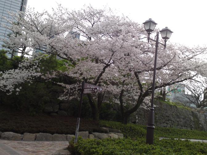 Cherry Blossoms in Sumpu Castle Park, Shizuoka City!