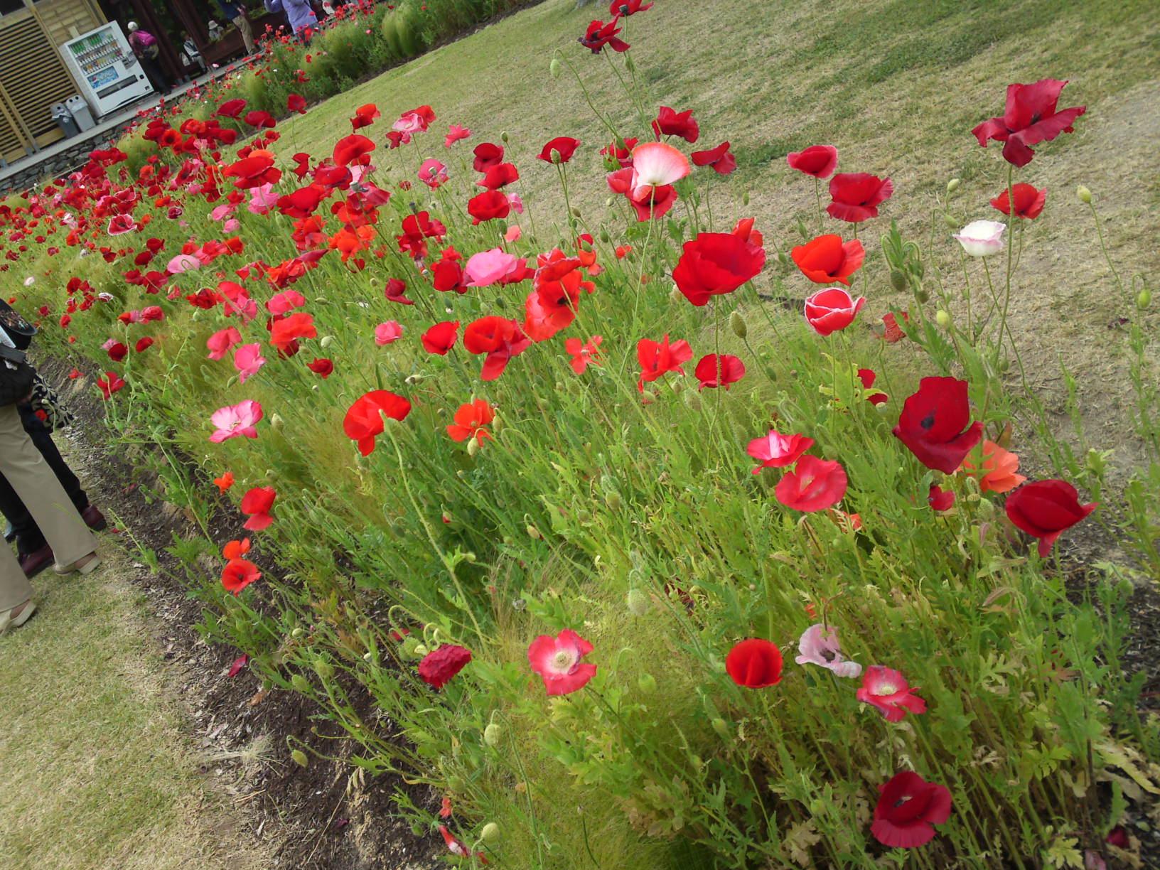Poppies In Hamana Lake Flower Garden In Hamamatsu Ciy Shizuoka
