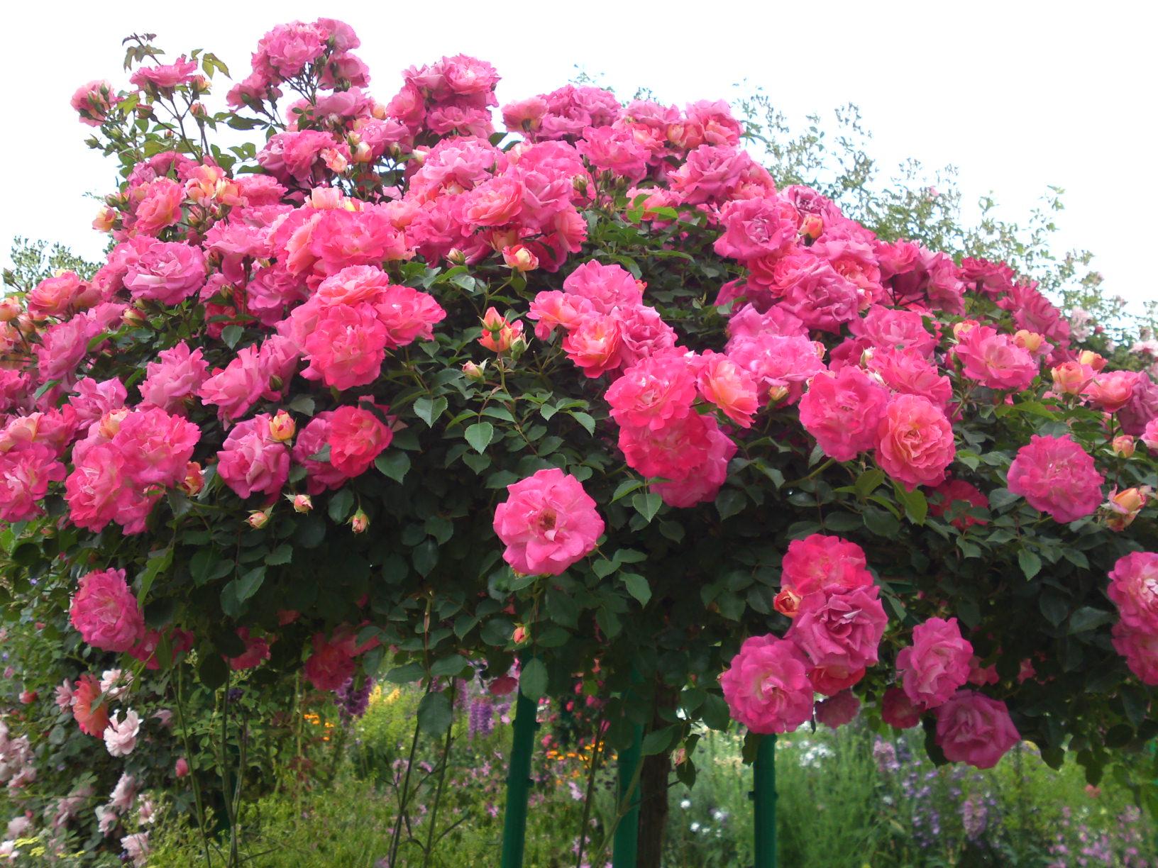 rose-10.jpg