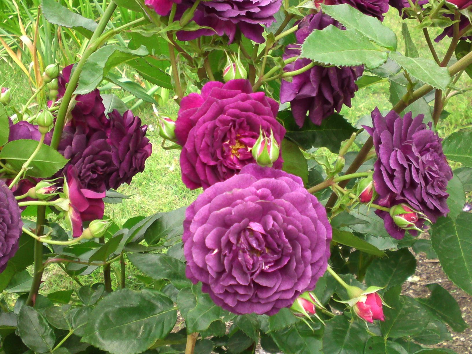 Roses In Garden: Roses In Hamana Lake Flower Garden In Hamamatsu Ciy