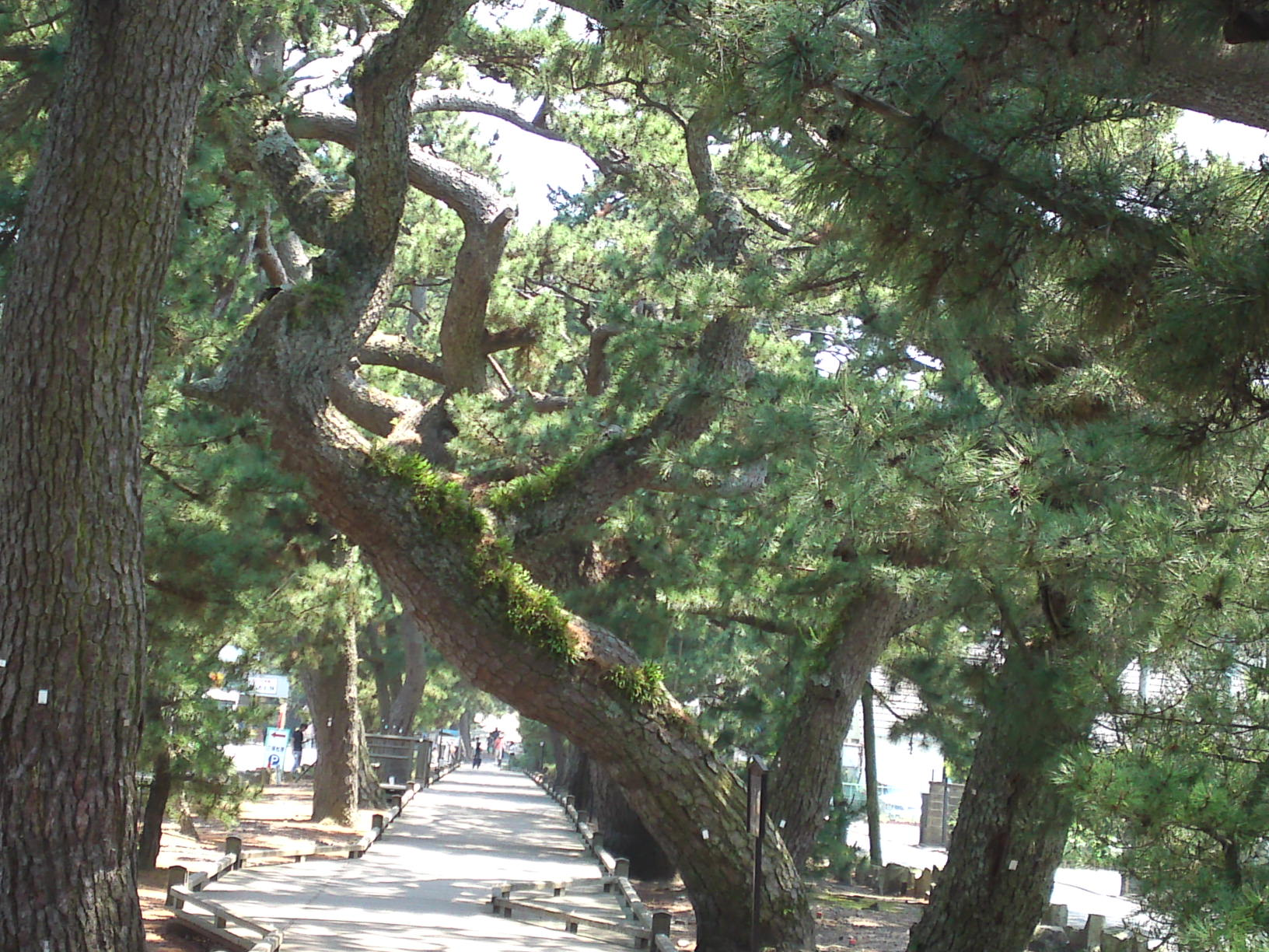 the legend of bangan pine tree The pine tree is a famous tale by hans christian andersen here's the well- known classic the pine tree i when it was little out in the.