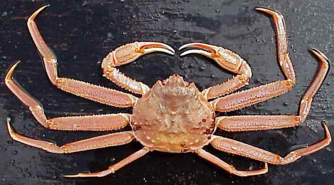 Japanese Crab Species 1: Snow crab/Suwaigani/ズワイ蟹 (expanded)