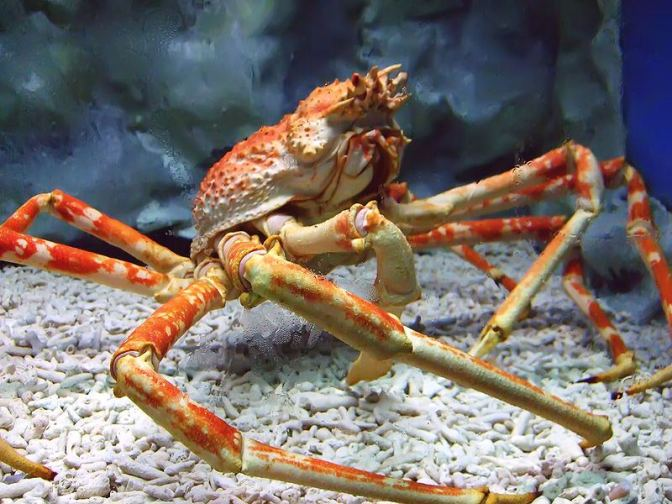 Japanese Crab Species 3: Japanese Spider Crab/Takaashigani (expanded)