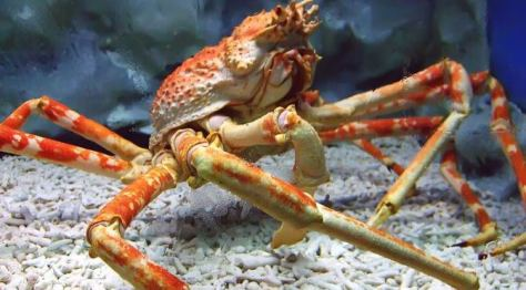 how to kill blue manna crabs