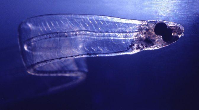 Japanese Fish Species 12: Noresore/Conger Eel Whitebait