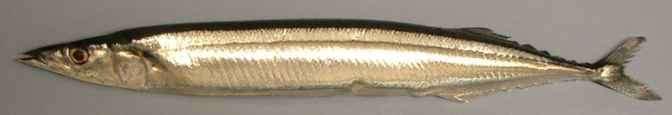 Japanese Fish Species 15: Sanma/Mackerel Pike