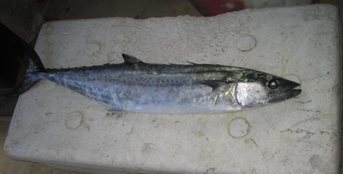 Japanese Fish Species 16: Sawara/Spanish Mackerel