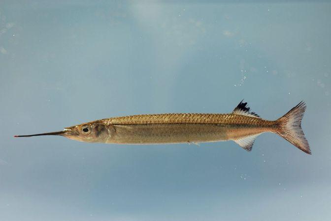 Japanese Fish Species 17: Japanese Half Beak