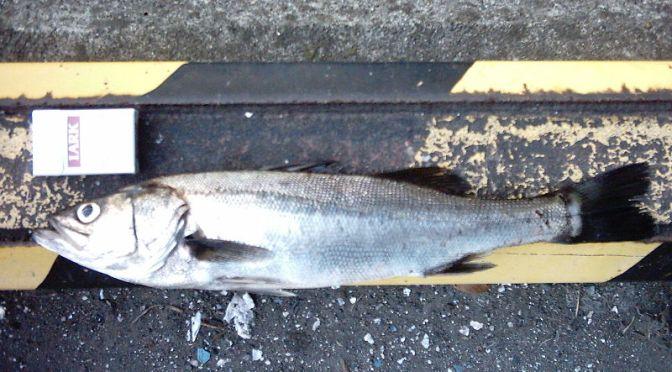Japanese Fish Species 20: Suzuki/Seabass
