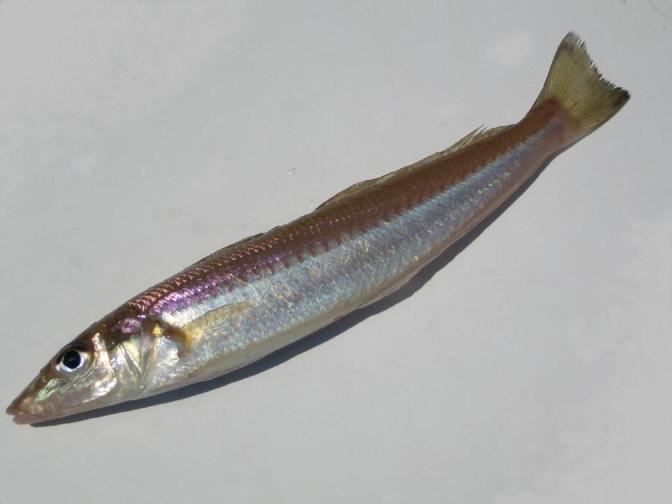 Japanese Fish Species 19: Shirogisu/Sillago