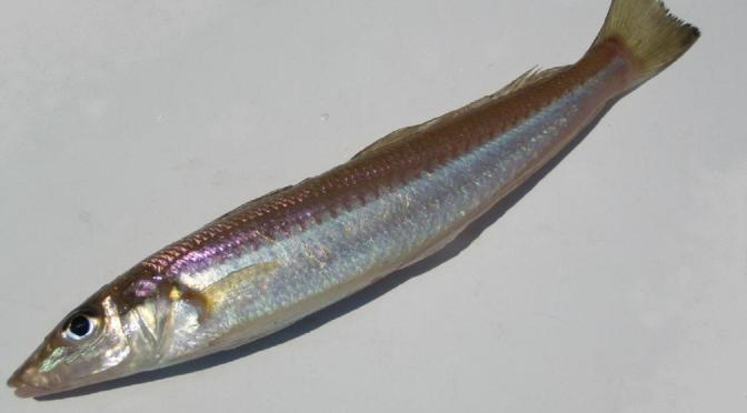 Japanese Fish Species 19: Shirogisu/Sillago
