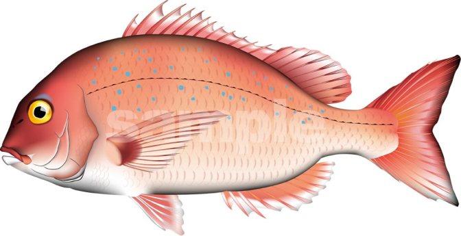 Japanese Fish Species 22: Tai-Madai/Seabream