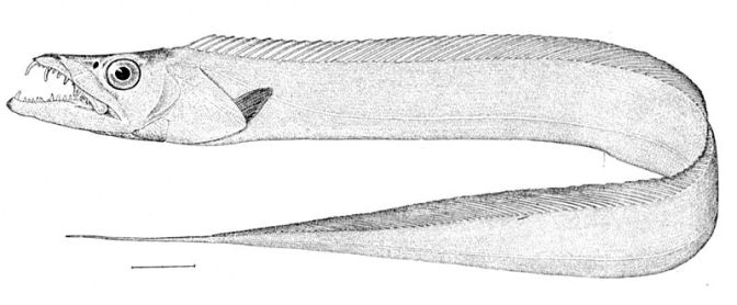 Japanese Fish Species 21: Tachiuo/Scabbard Fish-Cutlass Fish
