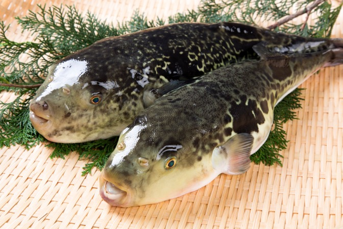 Japanese Fish Species 24: Torafugu/Tiger Puffer