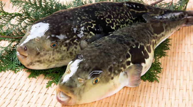 Japanese fish species 24 torafugu tiger puffer shizuoka for Japanese word for fish