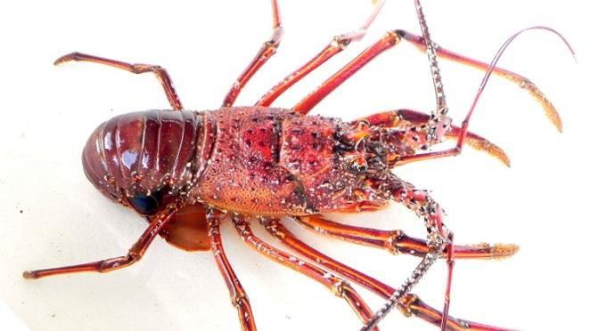 Japanese Crustacean Species 5: Ise Ebi/Japanese Spiny Lobster