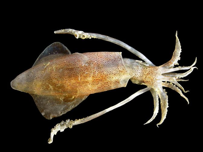 Japanese Cuttlefish/Squids Species 1: Yari Ika-Spear Squid
