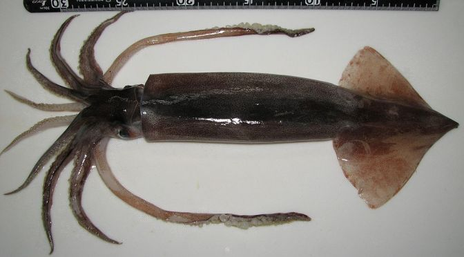 Japanese Cuttlefish/Squid Species 4: Surume Ika/Japanese Common Squid-Pacific Flying Squid