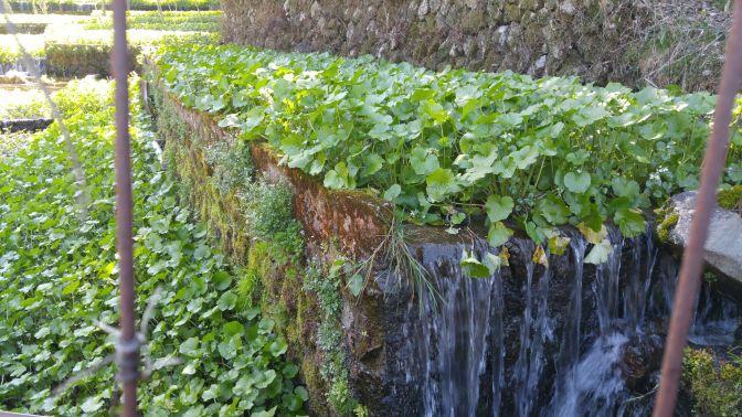 Shioya Kichie Wasabi Farm in Izu City, Shizuoka Prefecture!